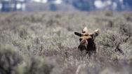 Moose laying in sagebrush  Stock Footage