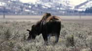 Bull moose in Wyoming lays down in sagebrush Stock Footage