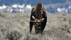 Bull moose grazing in Wyoming in early spring Stock Footage