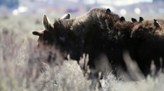 Bull moose with starlings on his back gathering nesting material Stock Footage