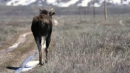 A bull moose walking down a dirt road in Wyoming Stock Footage