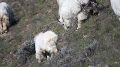 Mountain goat nanny and kids grazing on a hillside Stock Footage