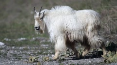 Mountain goats grazing and running on a hillside Stock Footage
