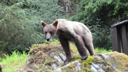 Curious grizzly cubs check out photographer Stock Footage