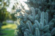 Small blue fir tree backlit by sunset light Stock Photos