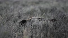 Young male moose laying down in sagebrush Stock Footage