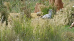 4K Secretary bird at conservation center demonstrates its ability to kill snake Stock Footage