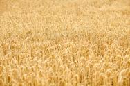 Cereal field with spikelets of ripe rye or wheat Stock Photos