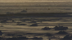 Two pairs polar bears glow in wind storm and setting sun Stock Footage
