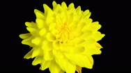 Time lapse - Blooming Yellow Dahlia Flower with black background Stock Footage