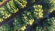 Aerial top-down view of a pecan orchard Stock Footage