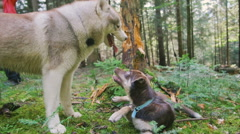 Dogs playing in forest Stock Footage