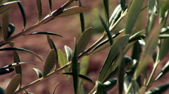 Close up on olive leaves Stock Footage