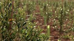Rack focus from olive branches to infant trees on olive field Stock Footage