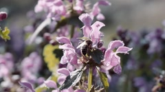 Bee pollinating flowers Stock Footage
