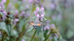 Hummingbird hawk moth flying in slow motion Stock Footage