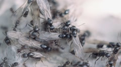 Ants and flying ants gathering before the rain, south of France Stock Footage