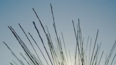 Dry Grass Stems Waving In The Wind Against A Cloudless Blue Sky Stock Footage
