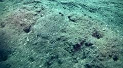 Leopard flounder (Bothus pantherinus) swimming Stock Footage