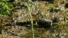 Hatching American Alligator (Alligator mississippiensis) walking in a swamp Stock Footage