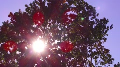 Amazingly beautiful sunlight playing through poplar branches on windy day Stock Footage