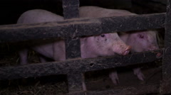 Two small pigs in the barn closed cell Stock Footage