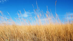 Beautiful sky through the reeds. Silver feather grass swaying in wind Stock Footage
