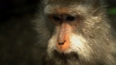 Face of Macaque primate in tropical habitat of Ubud Monkey Forest conservation Stock Footage