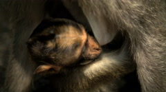 Baby Macaque primate with mother at Ubud Monkey Forest wildlife sanctuary  Stock Footage