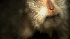 Face of Macaque primate Macaca Fascicularis in sacred Hindu nature reserve  Stock Footage