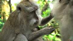 Cute Macaca monkeys grooming and bonding in sunlight of tropical wildlife Stock Footage