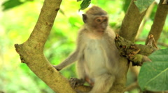 Freedom of juvenile Macaque primate in tropical climate of sacred Hindu nature Stock Footage