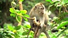Affectionate mother Macaque ape with juvenile in trees of tropical rainforest Stock Footage