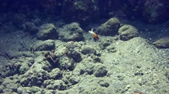 Red fire goby (Nemateleotris magnifica) swimming suddenly into its hole Stock Footage