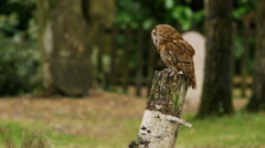 4K Tawny owl takes flight in natural environment. No people.  Stock Footage