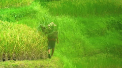 Male rice farmer in traditional hat carrying crops in bamboo baskets in the Stock Footage