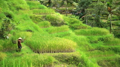 Male farm worker carrying rice harvest in traditional bamboo baskets on hillside Stock Footage
