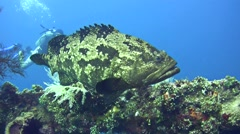 Brown-marbeled grouper (Epinephelus fuscoguttatus) with diver pointing at it Stock Footage