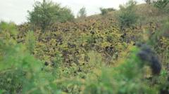 Field of wild blackberry bushes in 4K Stock Footage