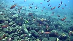 Coral grouper (Cephalopholis miniata) with group of colorful anthias Stock Footage