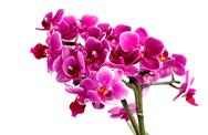 Pink orchid with many flowers on a white background Stock Photos