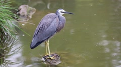 White-Faced Heron Standing On A Stone Stock Footage