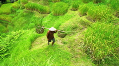 Traditional hillside rice farm in Bali with Asian male worker carrying crop in Stock Footage