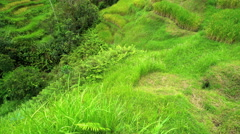 Traditional organic rice farming on green hillside terraces  Stock Footage