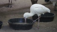 An ibis looking for food in a bowl Stock Footage