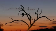 Vulture bird sitting in a tree Stock Footage