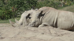 Two rhinos sitting on the ground and resting Stock Footage
