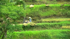 Bali, Indonesia - Traditional rice farming with females  Stock Footage