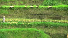 Traditional rice farming with female in conical hat growing food crops  Stock Footage
