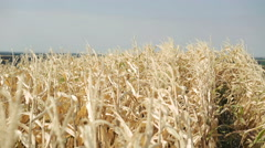 Ripe corn moving from wind on sky background in 4K Stock Footage
